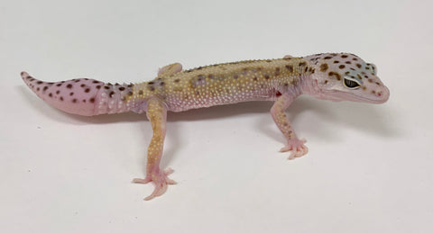 Stripe Mack Snow Leopard Gecko -Male-#TA-J-X-82118-1