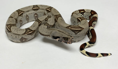 Peruvian Red-tailed Boas
