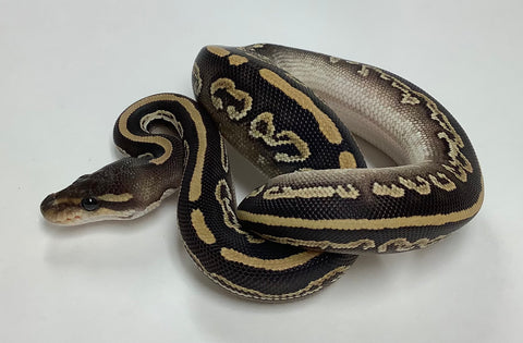 Black Pastel Mojave Ball Python - Female #2020F02