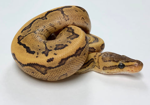 Fire Pinstripe Yellowbelly Ball Python Male #2020M01