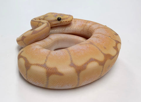 Banana Chocolate Spider Ball Python - Male #2020M02