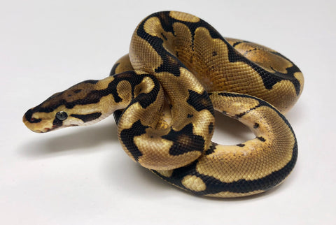 Spider Red Stripe Ball Python - Male #2018M01