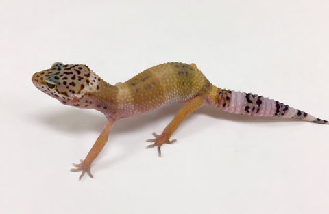 Hypo Tangerine Het Murphy Patternless & Eclipse Leopard Gecko(TSF) - #G-M2-80417-1 - BHB Reptiles