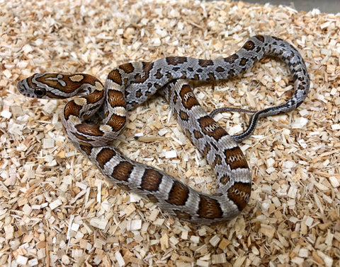 Cornsnake 66% Possible Het Creamscicle Scaleless - BHB Reptiles