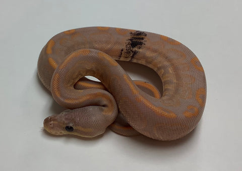 Banana Black Pastel Ball Python - Male #2020M09