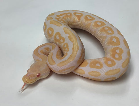 Albino Cinnamon Ball Python- Male #2020M01
