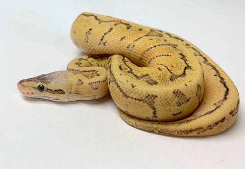Dragonfly Ball Python - Female #2019F01