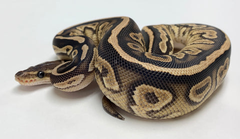 Cinnamon Cypress Ball Python Male - #2019M03