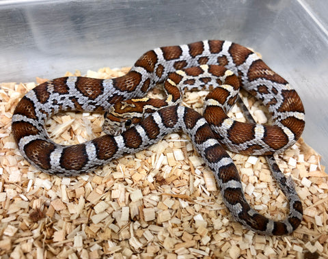 Cornsnake 66% Possible Het Crimson Scaleless - BHB Reptiles