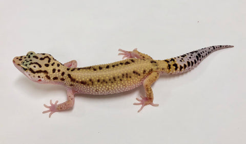 Bold Stripe Possible Het Eclipse Leopard Gecko  (TSF)- #K-S12-90117-1 - BHB Reptiles