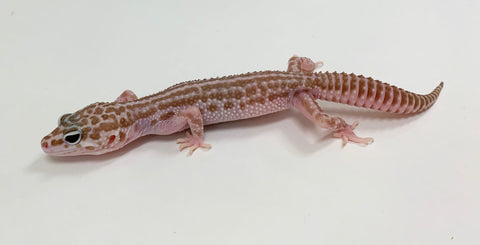 2018 Albino Tremper Super Snow Leopard Gecko - Females
