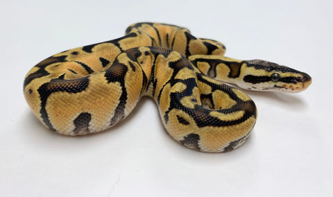 X-treme Pastel Enchi Ball Python- Female #2020F01
