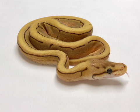 Caramel Spinner Ball Python - Female - #2018F01