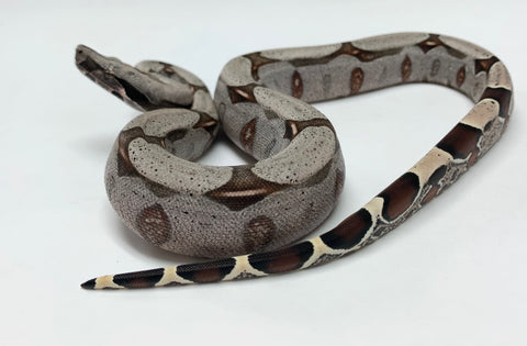 Guyana Red-tailed Boas