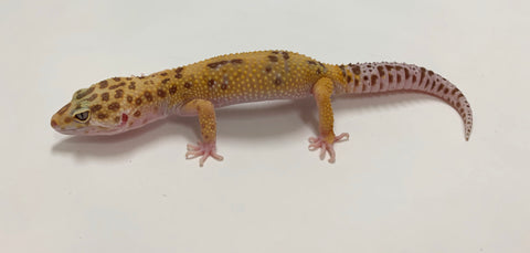 Jungle Raptor Leopard Gecko Male - #TB-CC-B10-62119-1