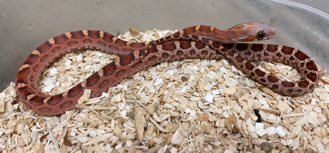 Scaleless Hypomelanistic Bloodred Cornsnake- #2019F01