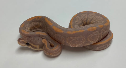 Banana Black Pastel Ball Python - Male #2020M07