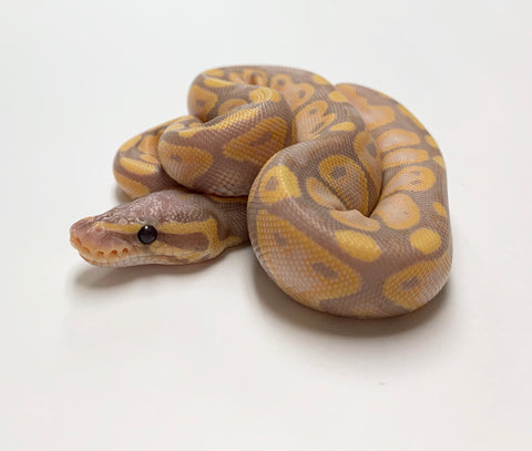 Banana Fire Ball Python - Female #2020F01