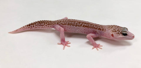 High White Super Raptor Leopard Gecko (TSF)- #TA-Q-E6-70518-1