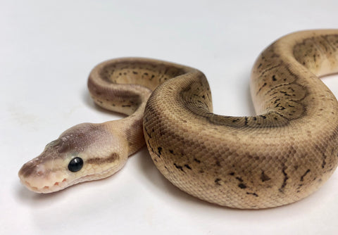 Pewter Pinstripe Cypress Ball Python Female - #2018F01