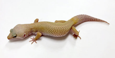 Albino Tremper Murphy Patternless Pos Mack Snow & Pos Het Eclipse Leopard Gecko- (TSF) #K-H3-90817-1 - BHB Reptiles