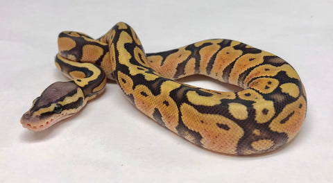Pastel Ghost Ball Python - Female #2018F01 - BHB Reptiles