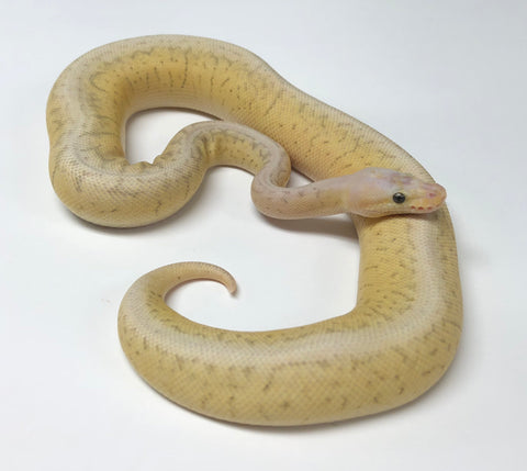 Killerbee Bamboo Woma Ball Python - Female - BHB Reptiles