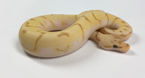 Banana Super Enchi Bumblebee Ball Python - Male #2019M01