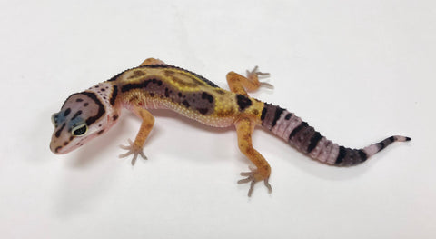 Bold Stripe Possible Het Eclipse Leopard Gecko  (TSF)- #TA-H4-62018-1 - BHB Reptiles