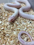 Albino High White California Kingsnake