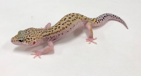 Patternless Stripe W/Y Mack Snow Eclipse Leopard Gecko (TSF) - #TA-LL-R9-72218-1