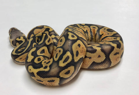 Pastel Ghost Ball Python - Female #2018F04 - BHB Reptiles