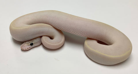 Pastel Ivory Ball Python - Female #2020F01