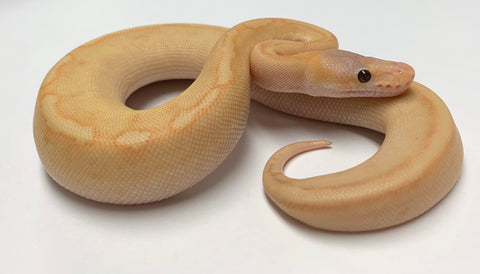 Banana Champagne Ball Python - Female #2020F02