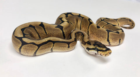 Spider Red Stripe Ball Python - Female #2018F03