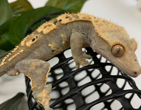Crested Gecko- ADULT- Harlequin, Dalmation Spots-Male