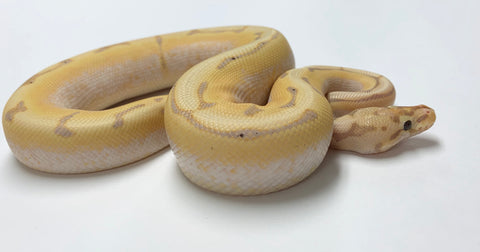 Banana Spider X-Treme Gene Ball Python - Male  With Wobble