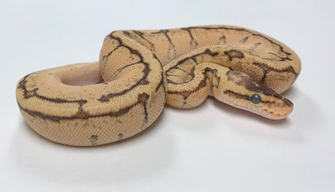 Enchi Lemonblast Yellowbelly Ball Python - Female #2020F01