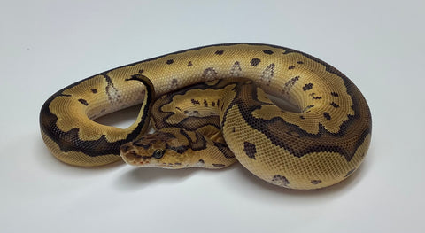 Clown Het Albino Ball Python- Female #2020F05