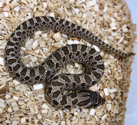 Possible Het Pastel Pink Albino Western Hognose- Male