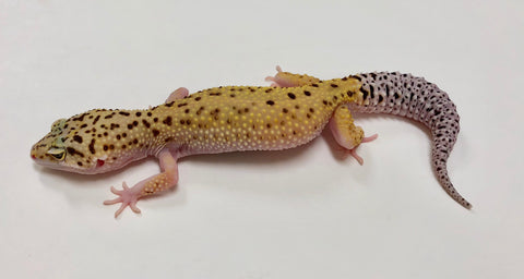 Eclipse Possible Het Tremper Leopard Gecko -(TSF) #HH-S12-90417-1 - BHB Reptiles