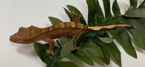 Crested Gecko- Reverse Pinstripe, Harlequin -CRR03