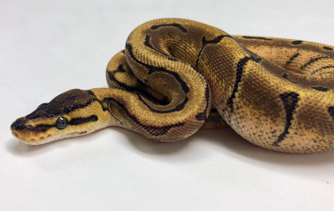 Enchi Calico Pinstripe Ball Python- Female #2018F01 - BHB Reptiles