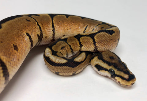 Spider Red Stripe Ball Python - Female #2018F01