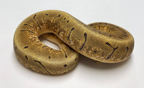 Super Enchi Pinstripe Woma Ball Python - Female #2018F02
