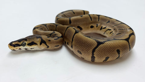Spider Leopard Ball Python - Female #2020F01