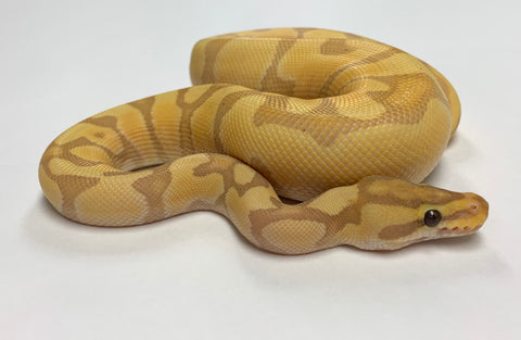 Banana Super Enchi Ball Python - Male #2019M03