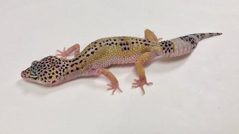 Hypo Mack Snow Reverse Stripe Pos Het Tremper. Albino & Murphy Patternless Leopard Gecko- (TSF)-#P-O1-102517-1 - BHB Reptiles