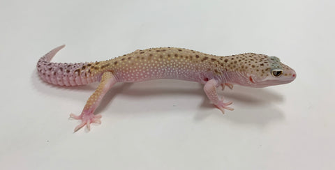 Mack Snow Eclipse W/Y Leopard Gecko-Male-#TB-T-I6-70519-1