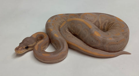 Banana Black Pastel Ball Python - Male #2020M14